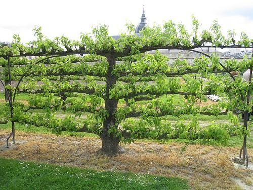 3373ce97414d051ed86b8570ef11b90e--espalier-fruit-trees-fruit-garden